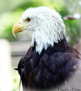 Bald Eagle Best 2